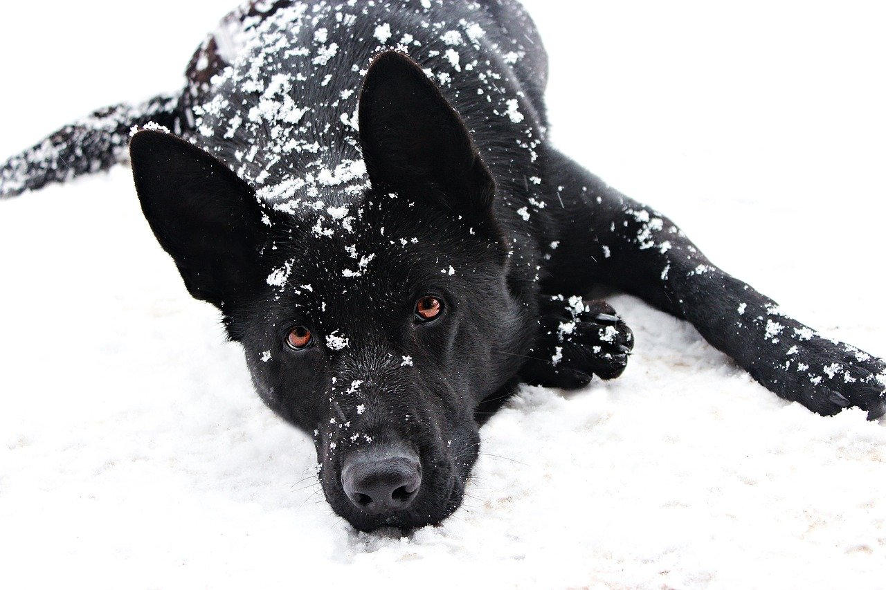 Do German Shepherds Get Cold?
