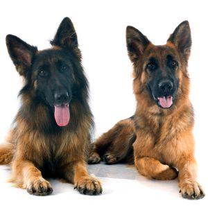 Male Vs. Female German Shepherds