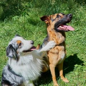 German Shepherd Vs Australian Shepherd