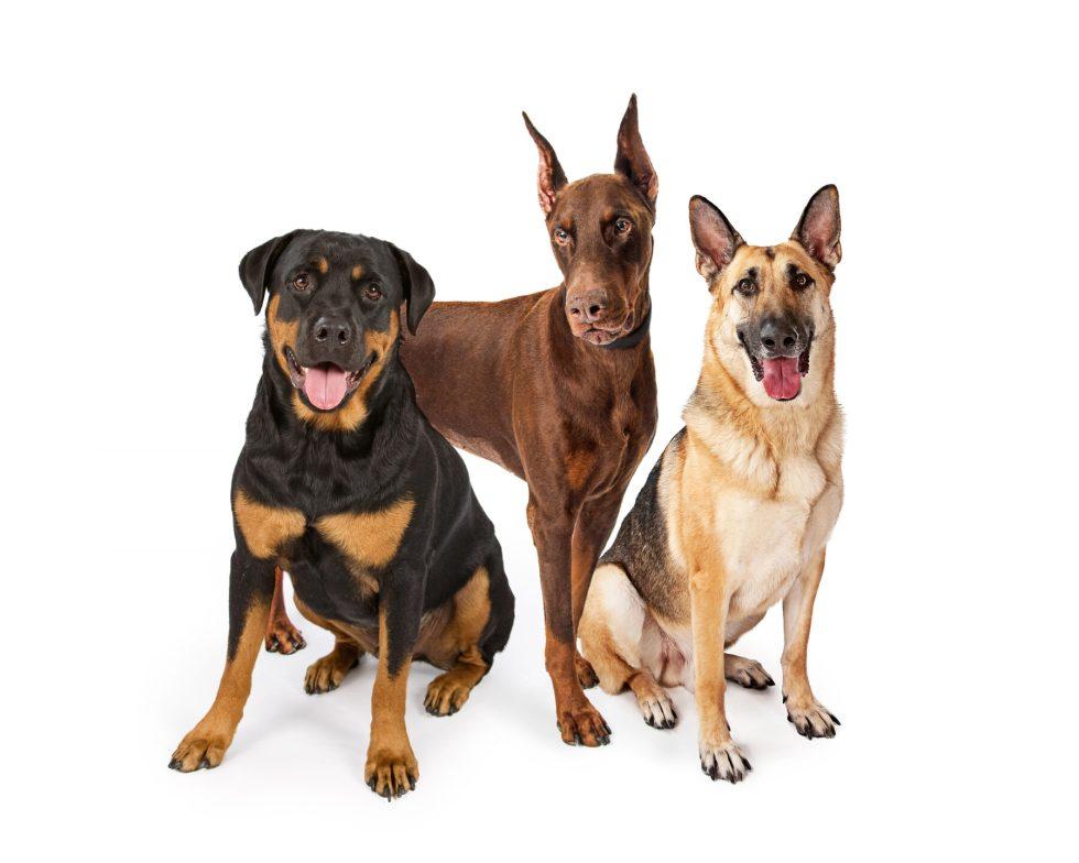 German Shepherd, Rottweiler and Doberman
