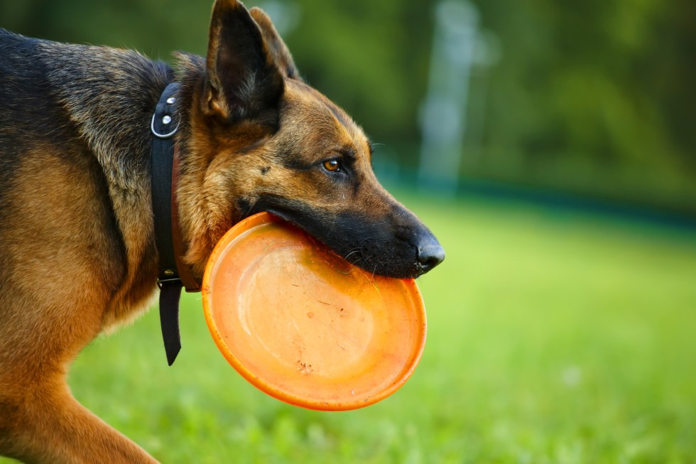 German Shepherd with Frisbee