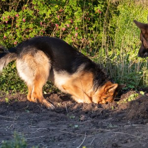 Why Do German Shepherds Dig Holes?
