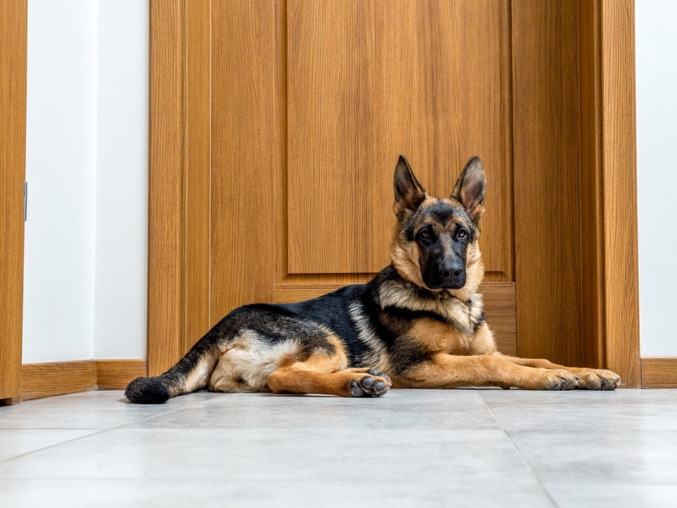 Can German Shepherds Be Left Alone?