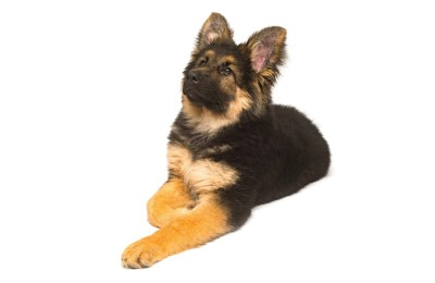 How To Discipline A German Shepherd Puppy