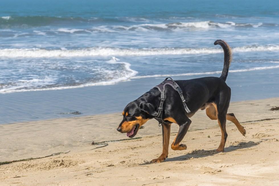 Coonhound dog on the beach