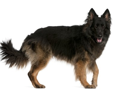 German Shepherd Tail