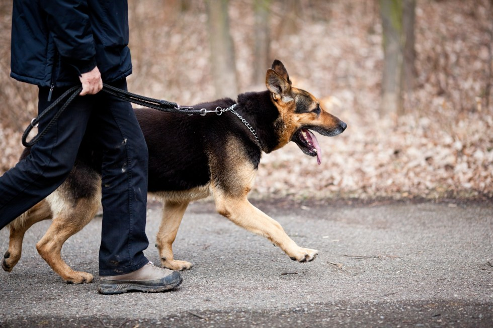 German Shepherd walking on leash