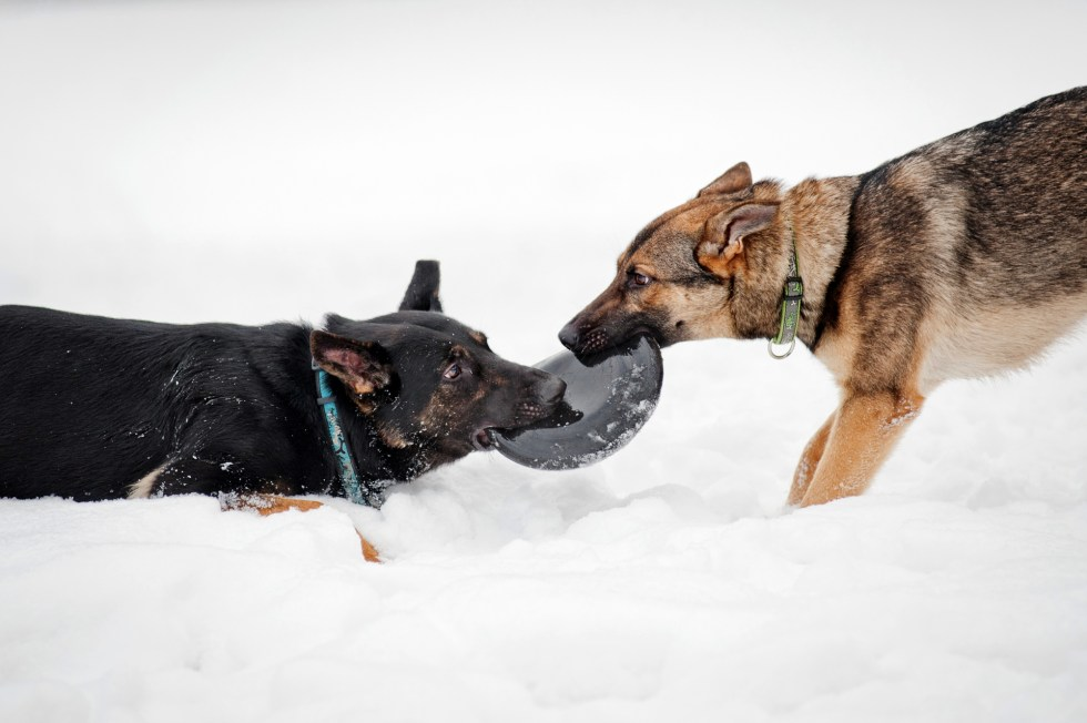 German Shepherds Playing In Snow