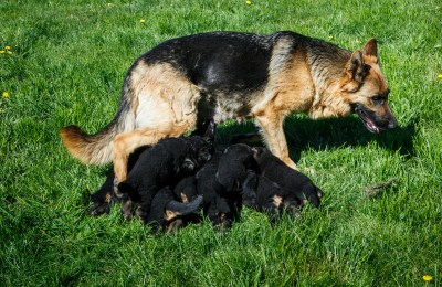 How Many Puppies Can German Shepherds Have?