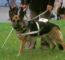 Are German Shepherds Good Service Dogs?