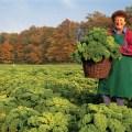 picking grunkohl in Niedersachsen