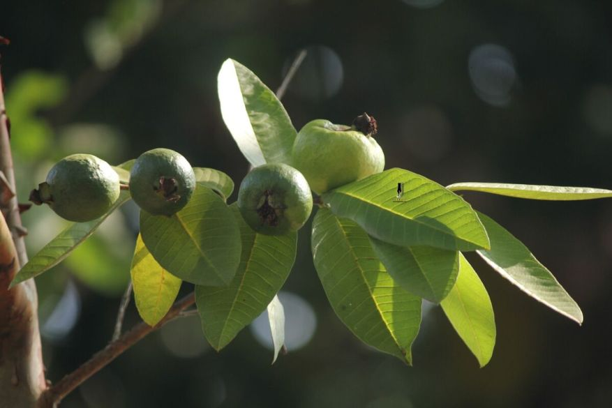 guava-natural-on-tree