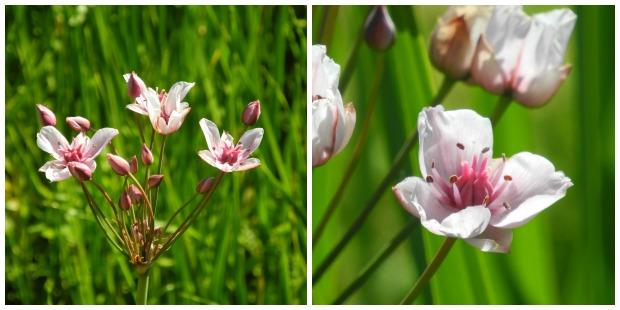 collage-juni-schwanenblume-2