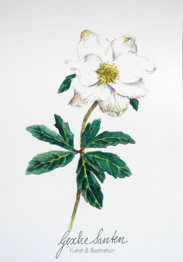 Helleborus Aquarell - Traditionelles Wintergrün und seine Bedeutung | Gesche Santen