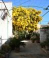 Mimose_Mallorca