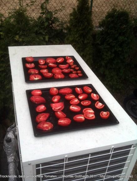 Trocknende, bald getrocknete Tomaten