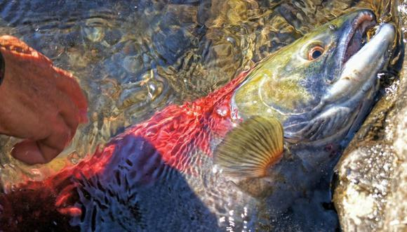 Catástrofe ambiental en Chile por muerte de casi 5,600 toneladas de salmones  | MUNDO | GESTIÓN