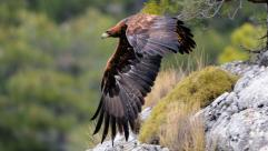 aguila-real