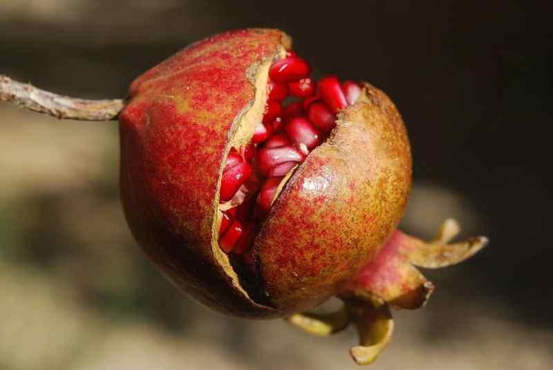 Der Granatapfel, nicht nur besonders lecker, sondern auch gesund