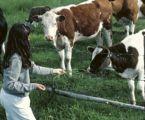 EHEC-Bakterien bei Rindern, Schafen verringern