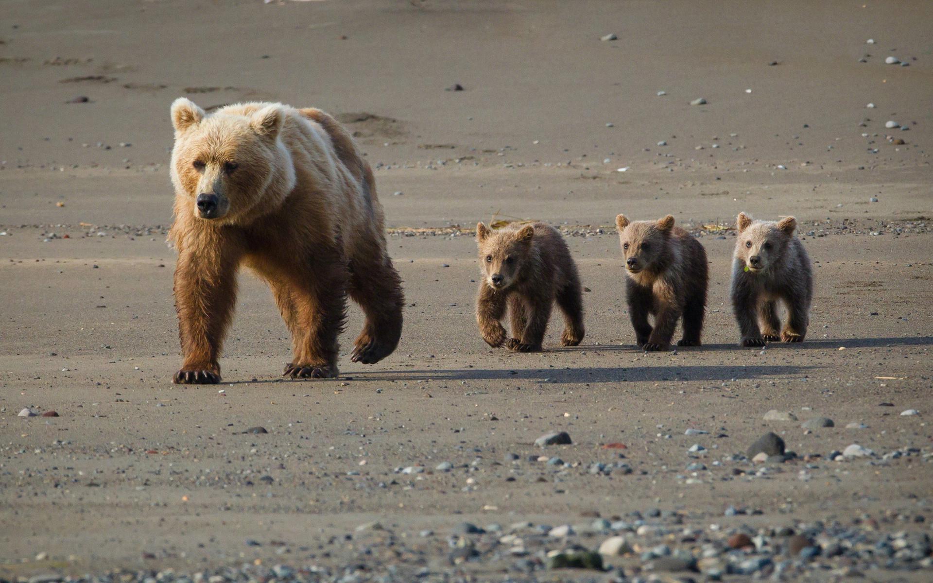 壁紙 : 1920x1200像素, 阿拉斯加州, 嬰兒, 熊, 幼崽, 毛皮, 風景, 性質, 巖石, 砂, 野生動物 1920x1200 - 4kWallpaper ...