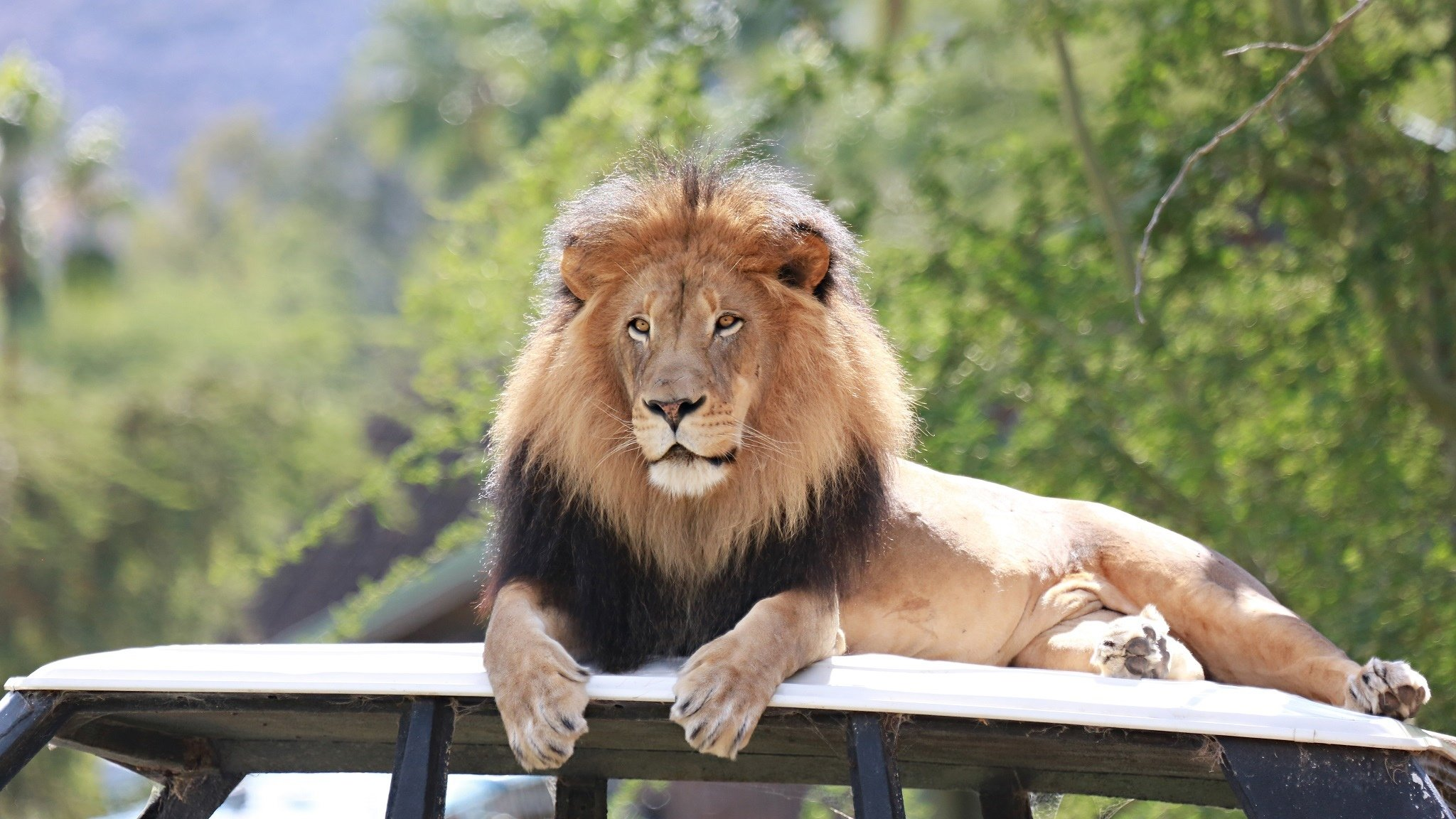Wallpaper 2048x1152 Px Carnivore Cat Lion Lying Mane Muzzle Vacation Wild Zoo 2048x1152 Wallpaperup 1915613 Hd Wallpapers Wallhere