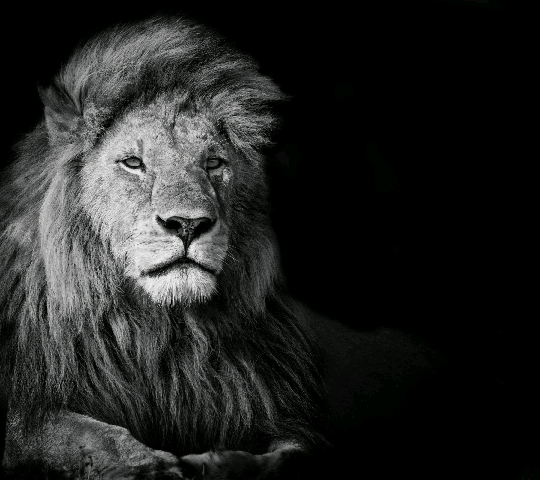 wallpaper animals lion big