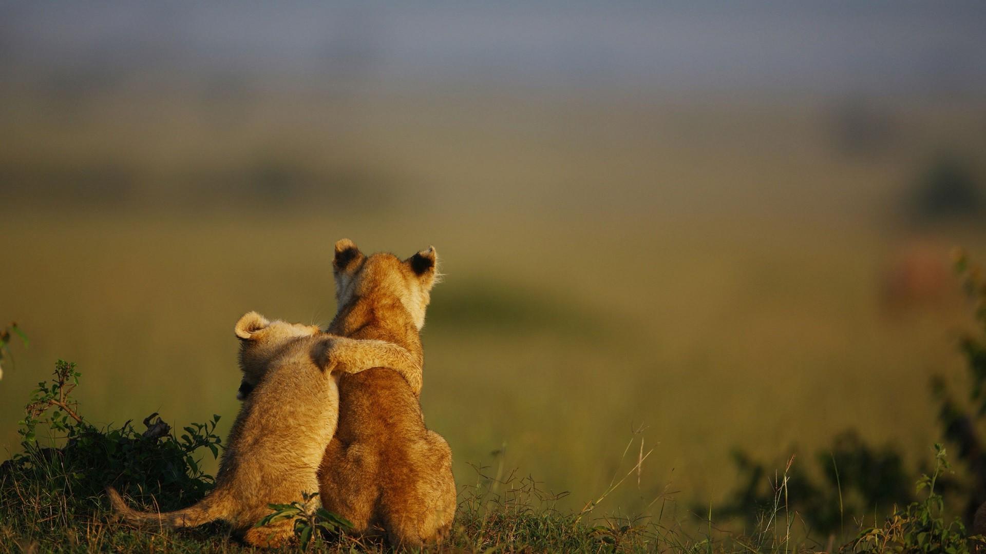 Wallpaper Nature Grass Lion Morning Wildlife Hugging Baby Animals Grassland Fauna