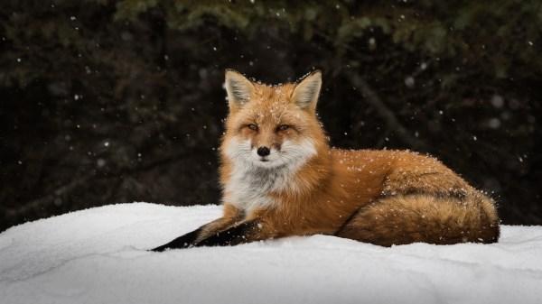 Wallpaper Animals Snow Winter Wildlife Fauna Vertebrate Dog Mammal Breed Group