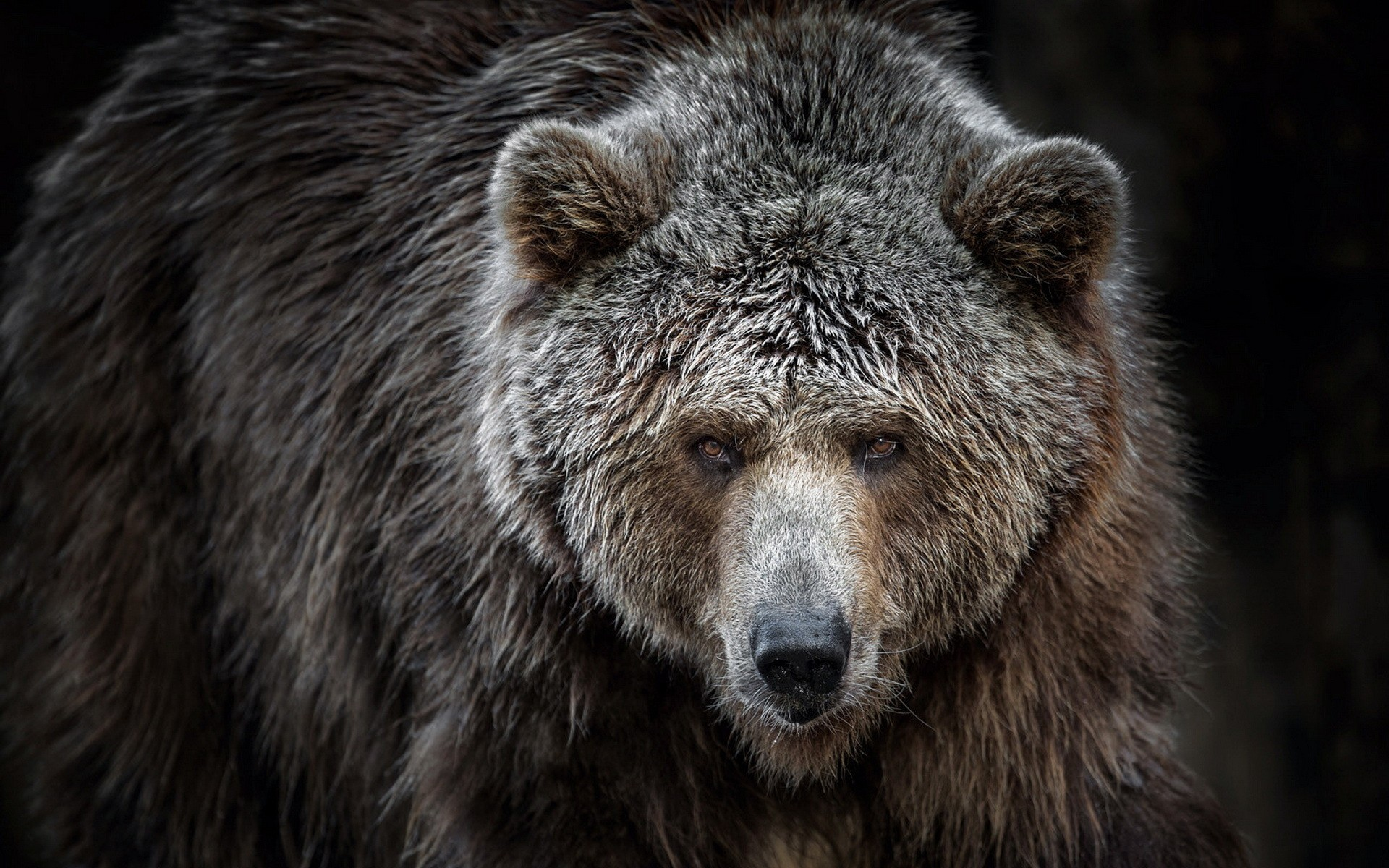 wallpaper animals wildlife bears