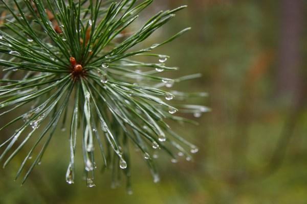 Wallpaper Plants Branch Frost Spruce Pine Trees Fir