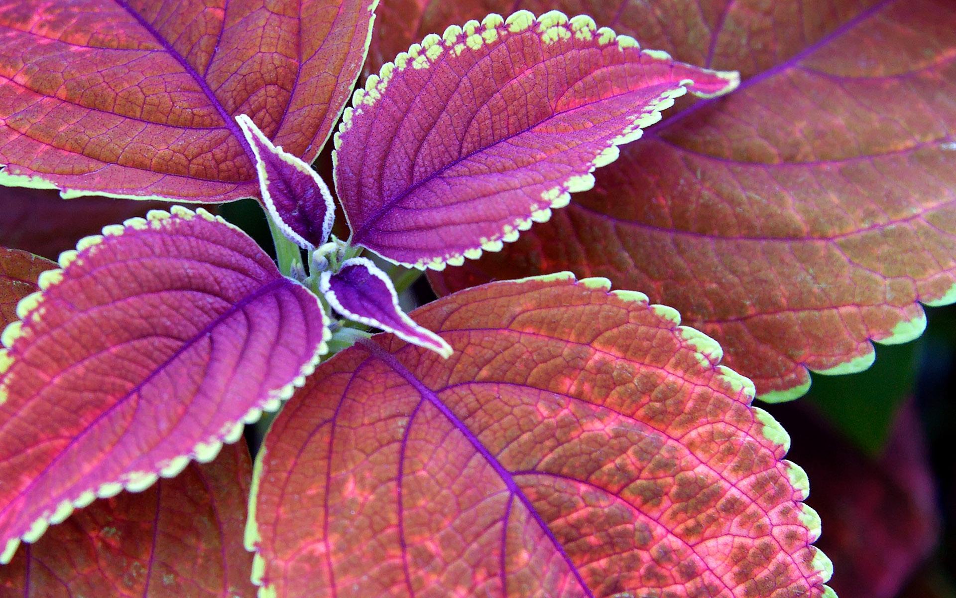 Wallpaper  Daundaun ungu berwarna merah muda coretan