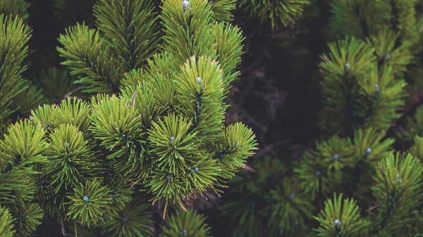Wallpaper Nature Branch Spruce Pine Trees Fir