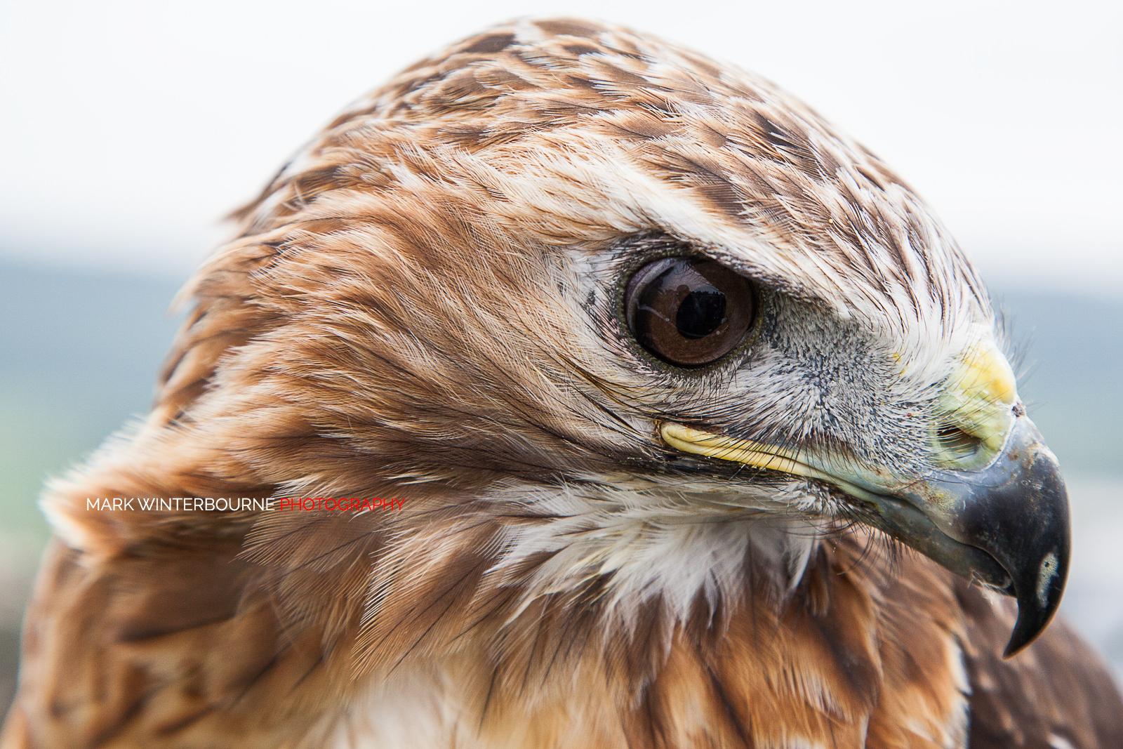 Terbaik 55+ Download Gambar Burung Elang Vektor