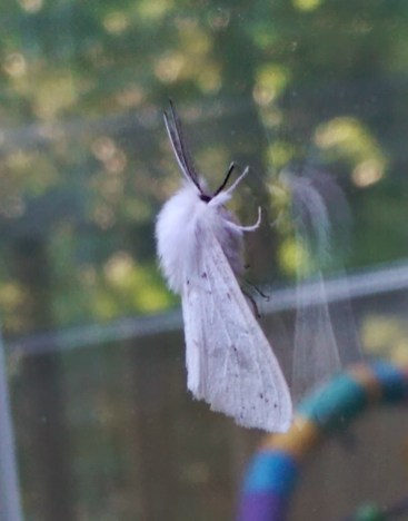 White Moth from the Side