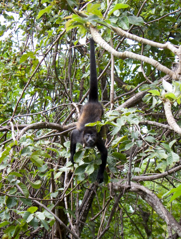 Howler Monkey Hanging From Tail