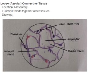 Connective Tissue.