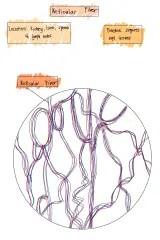 Reticular Fiber