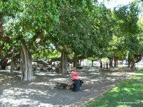 Banyan Trees In Laihan