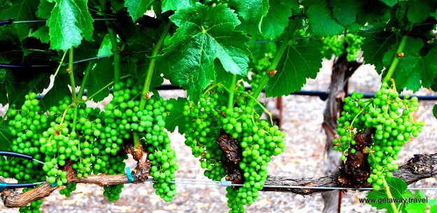 Napa Wine Grapes