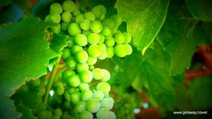 Grapes ripening in Horse Heaven Hills