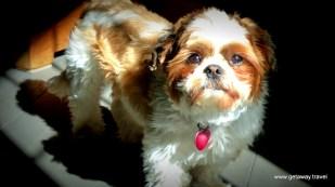 Cute winery dog at Adamant