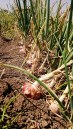 Indian Village - onions