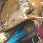 get-bit-big-catfish-noodling