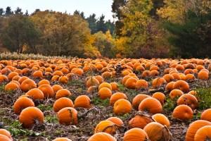 pumpkin patch carving halloween