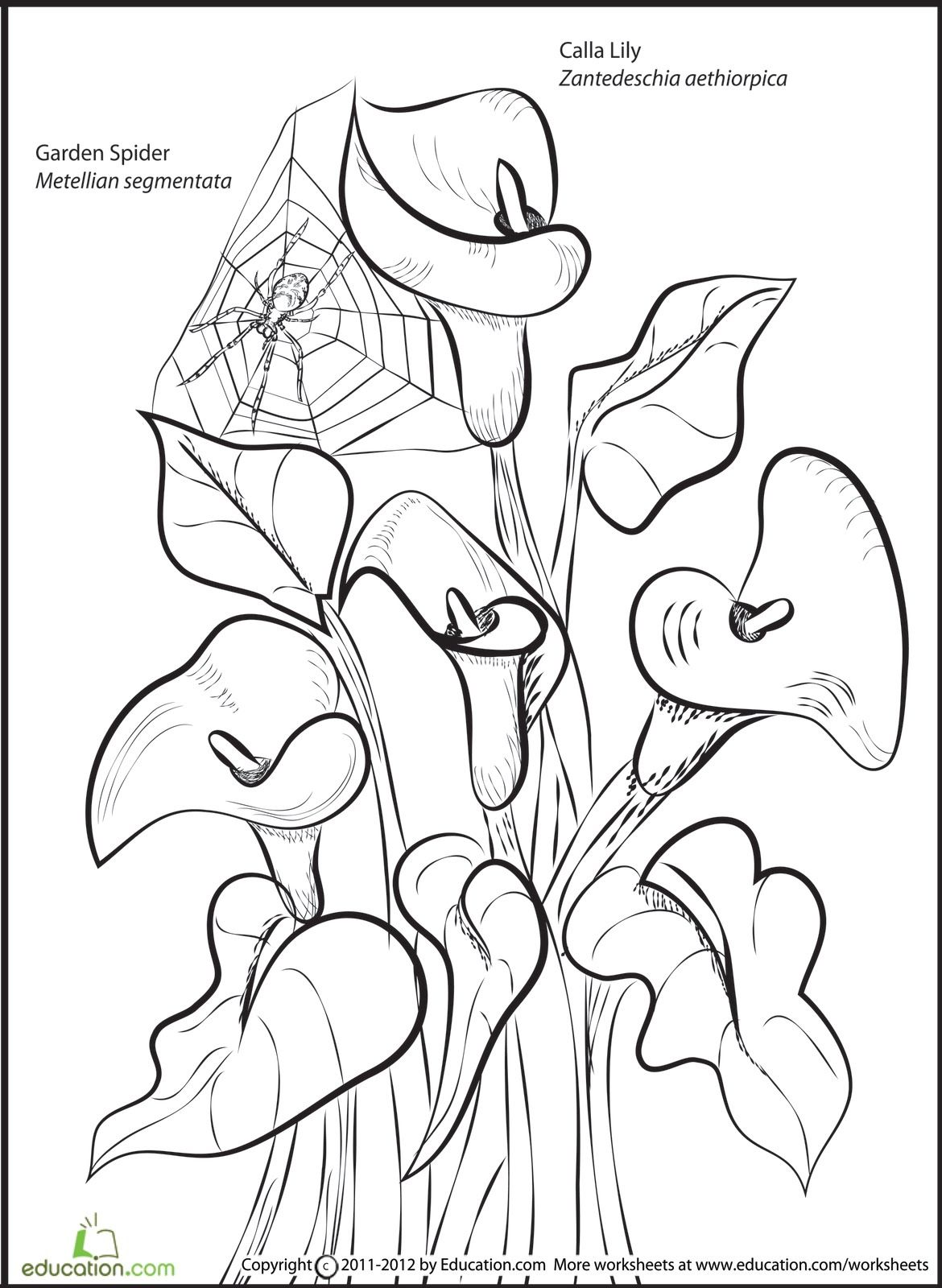 Calla Lily Coloring Pages At Getcolorings