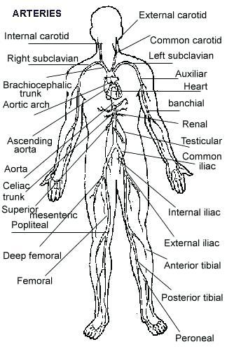 Circulatory System Coloring Page at GetColorings.com