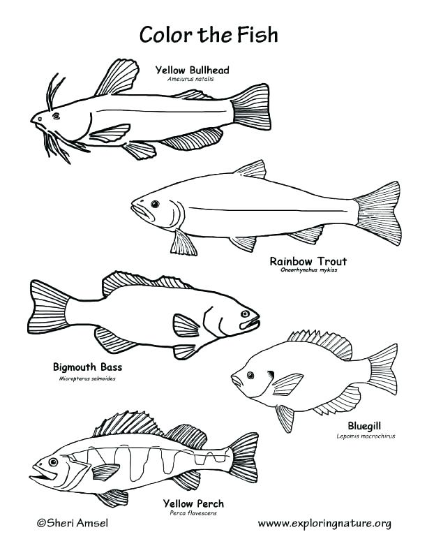 Freshwater Fish Coloring Pages Valid Outstanding Fish To Color