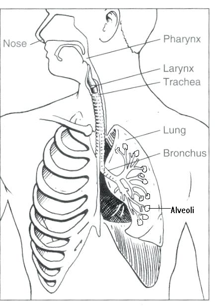 Respiratory System Coloring Page at GetColorings.com