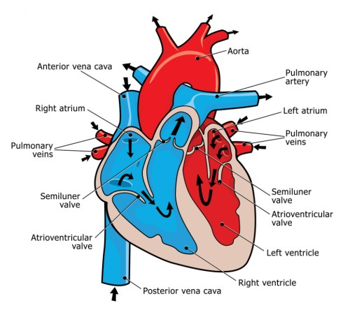 small resolution of 1024x930 astonishing heart diagram 58 for your picture of spinal cord